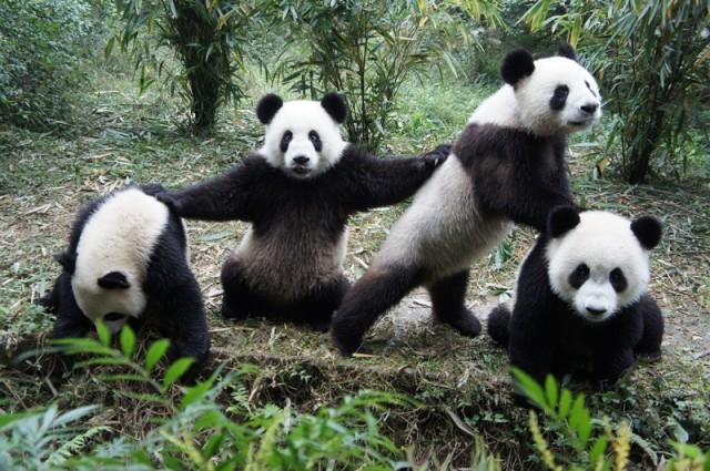 "Giant Panda Channel ""giant Panda Channel,"" or"